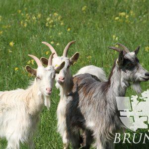 Chèvres Charrière