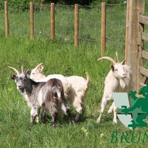 Les chèvres des fossés